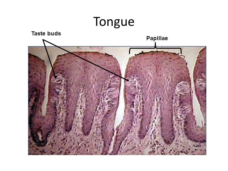 Tongue Taste buds Papillae