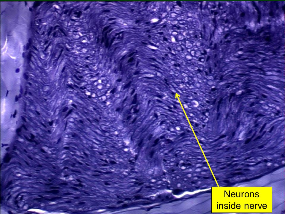 Neurons inside nerve