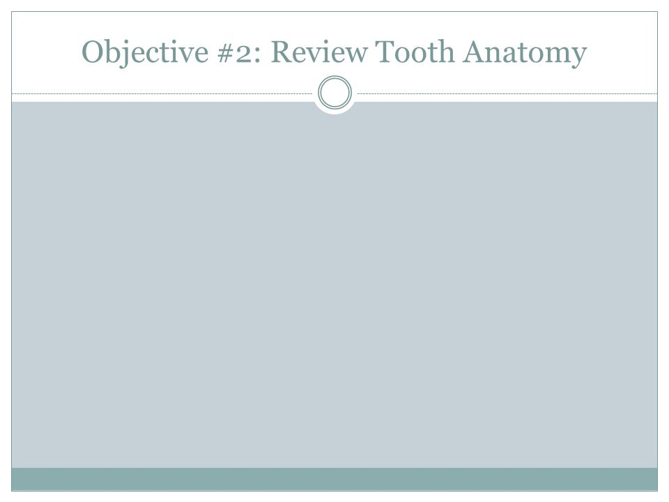 Objective #2: Review Tooth Anatomy