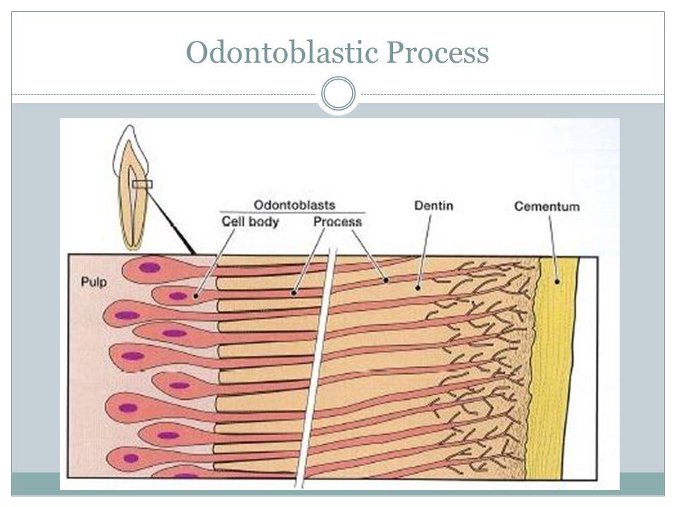 Odontoblastic Process