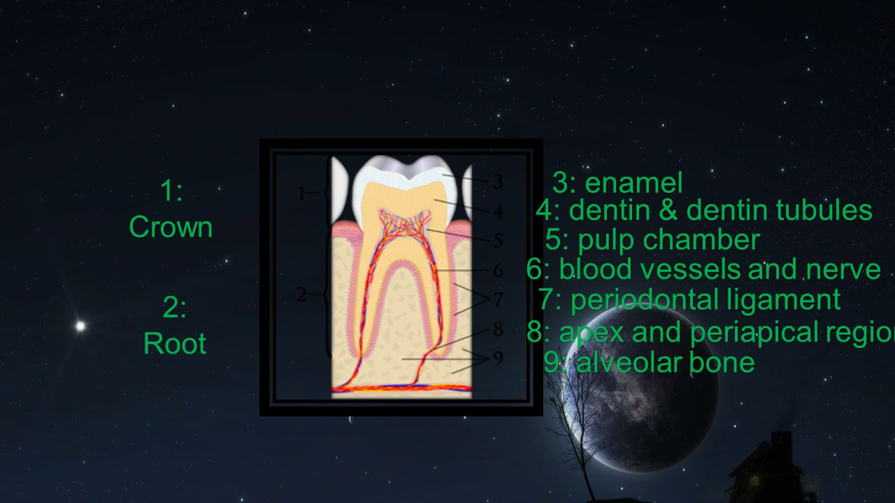 4: dentin & dentin tubules 5: pulp chamber 6: blood vessels and nerve