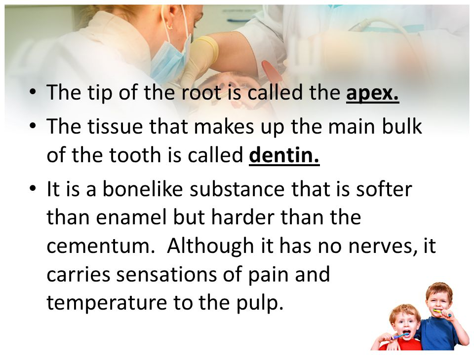 The tip of the root is called the apex.