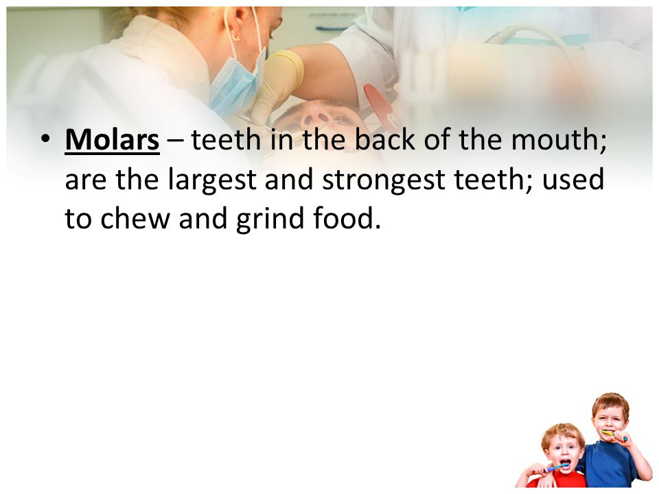 Molars – teeth in the back of the mouth; are the largest and strongest teeth; used to chew and grind food.