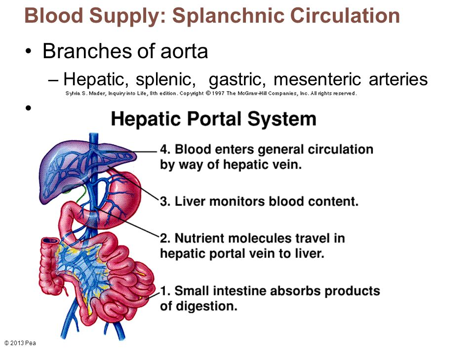 Blood Supply: Splanchnic Circulation
