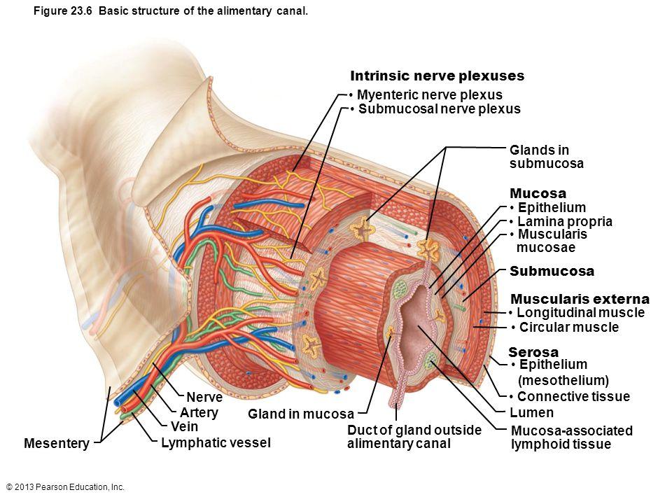 Myenteric nerve plexus