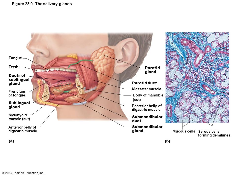 Figure 23.9 The salivary glands.