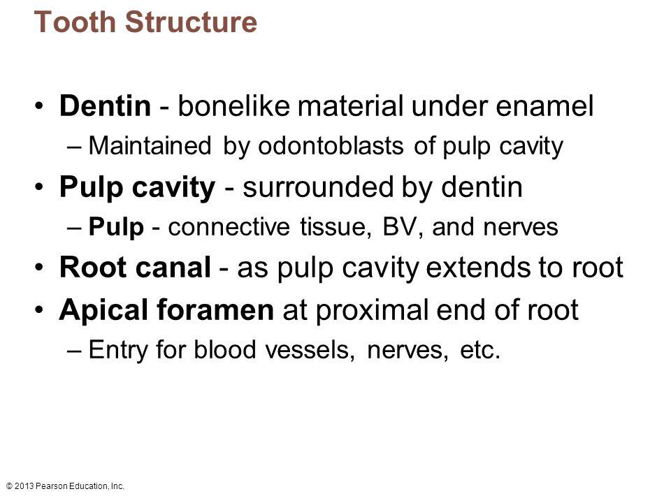 Dentin - bonelike material under enamel