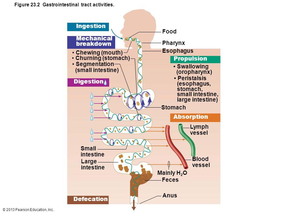 Ingestion Food Mechanical breakdown Pharynx Esophagus Chewing (mouth)