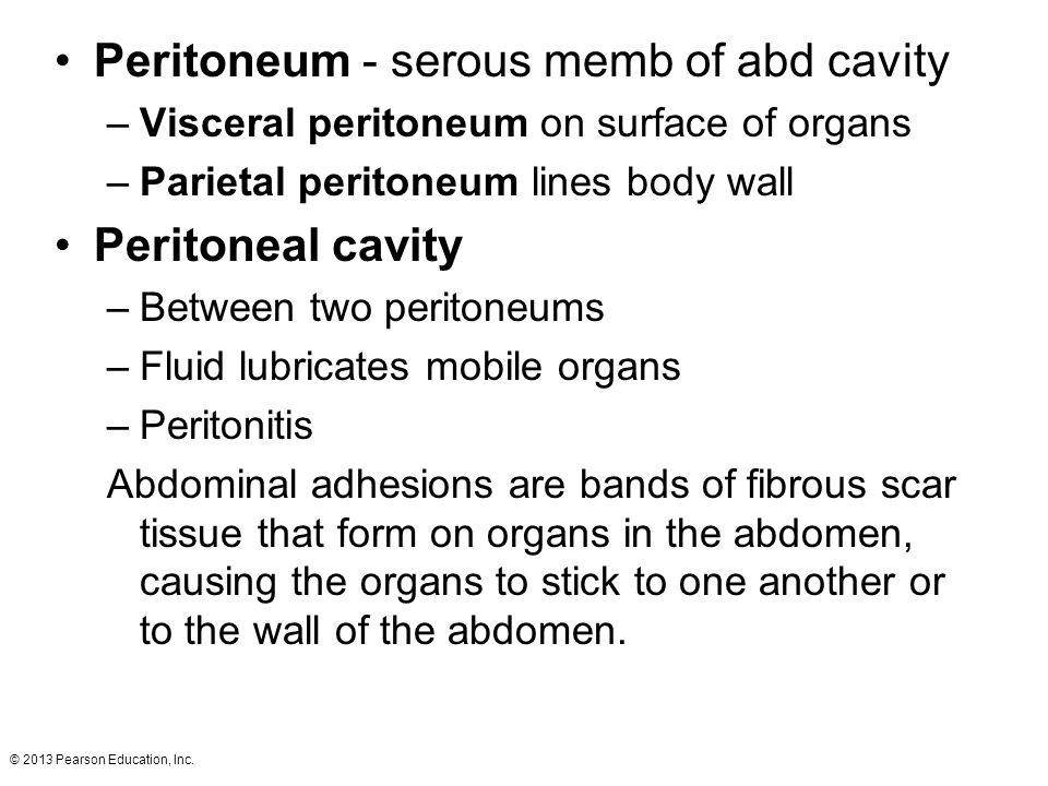 Peritoneum - serous memb of abd cavity