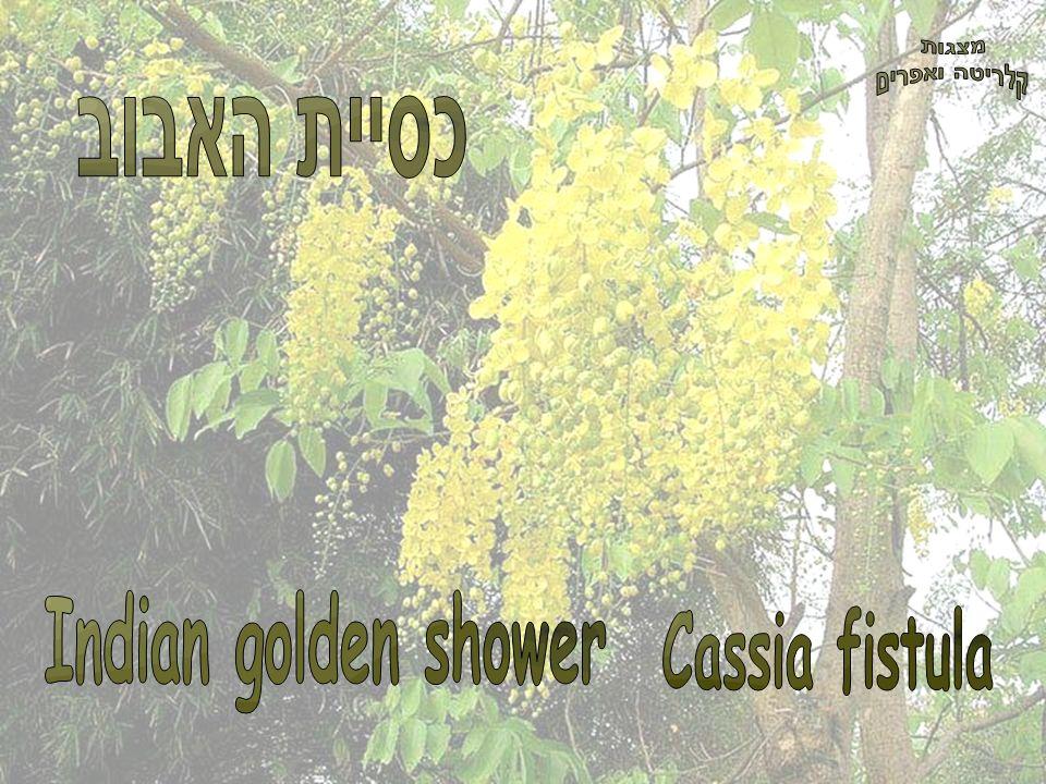 מצגות קלריטה ואפרים כסיית האבוב Indian golden shower Cassia fistula