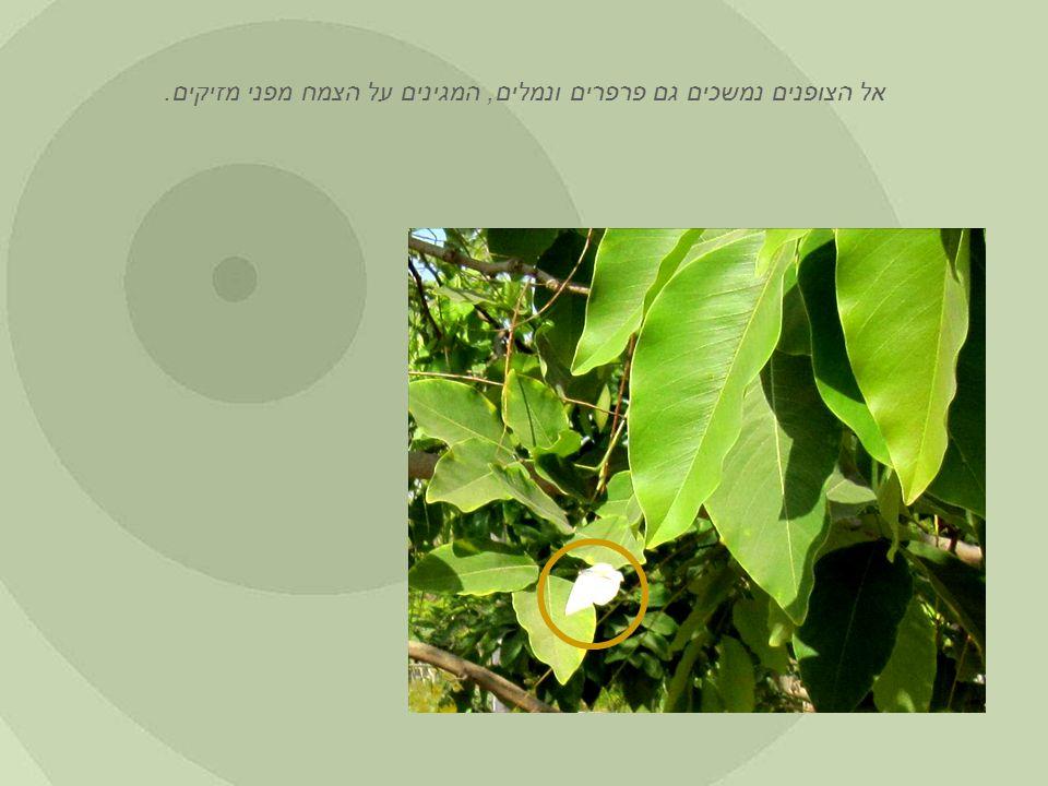 אל הצופנים נמשכים גם פרפרים ונמלים, המגינים על הצמח מפני מזיקים.