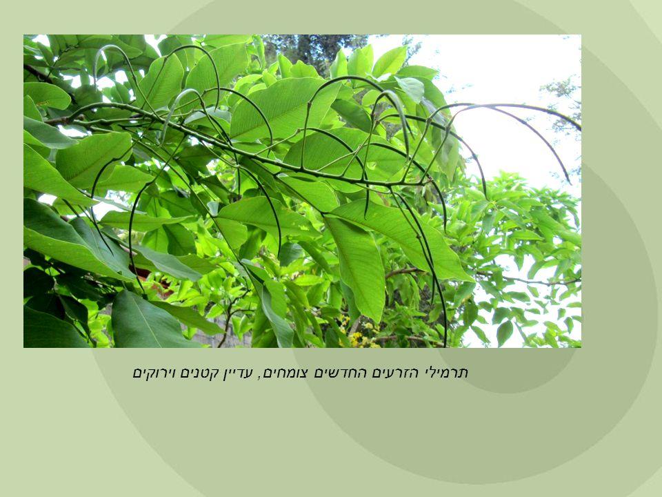 תרמילי הזרעים החדשים צומחים, עדיין קטנים וירוקים