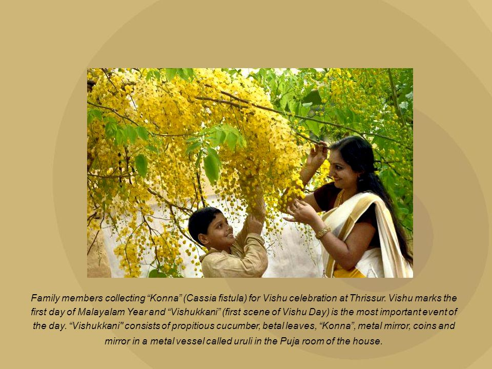 Family members collecting Konna (Cassia fistula) for Vishu celebration at Thrissur.