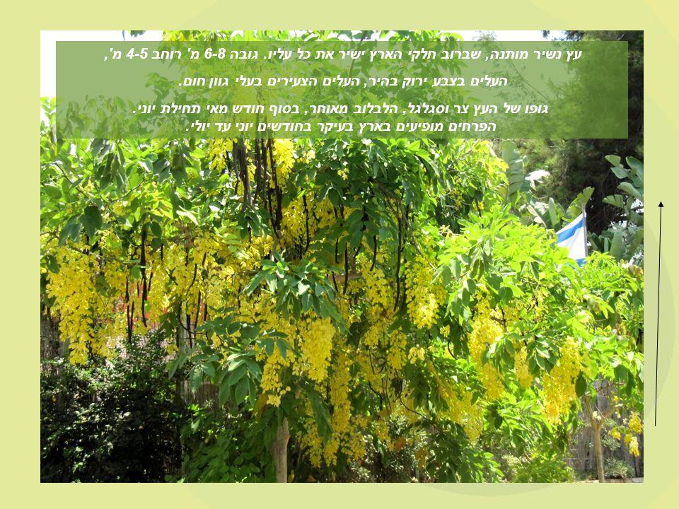 העלים בצבע ירוק בהיר, העלים הצעירים בעלי גוון חום.
