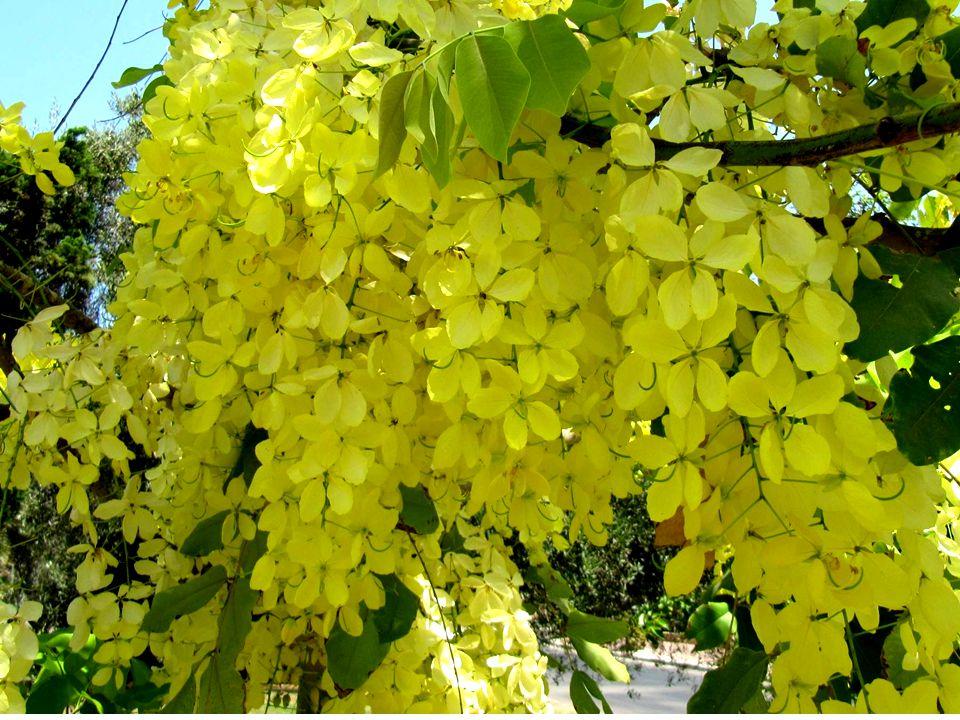 פריחת העץ מדהימה ביופייה: אשכולות של פרחים נושאי ריח נעים באורך 30 עד 60 ס מ משתלשלים מן העץ במפל צהוב עז.