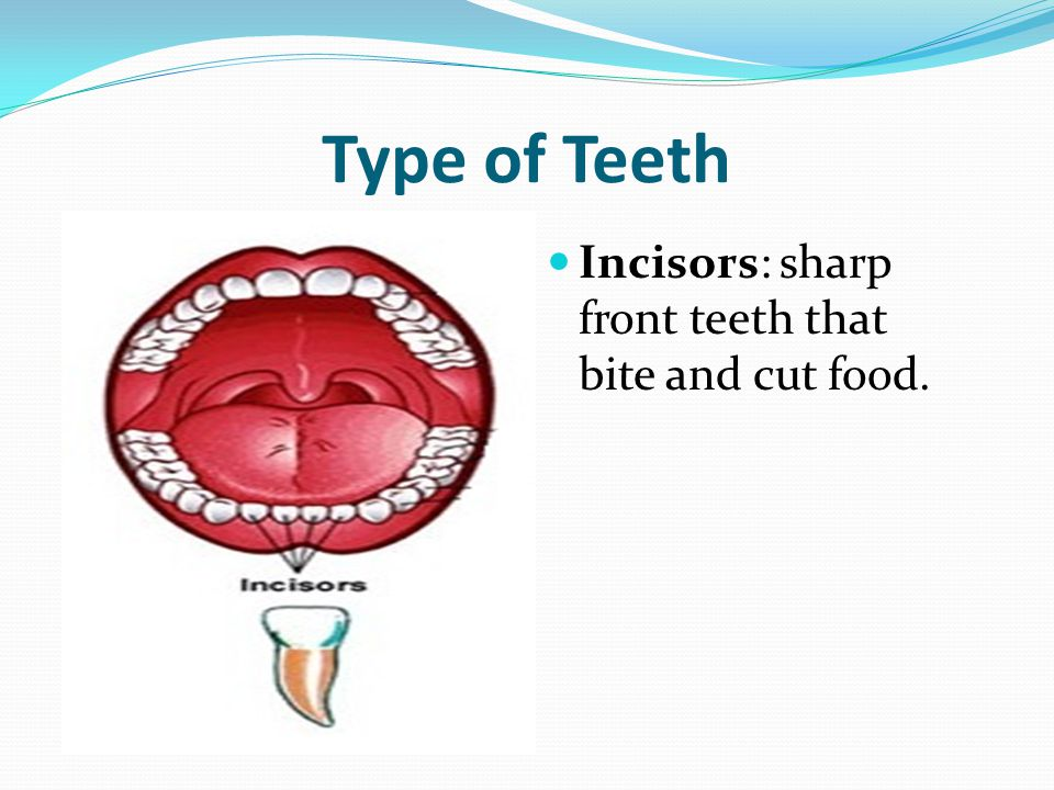 Type of Teeth Incisors: sharp front teeth that bite and cut food.