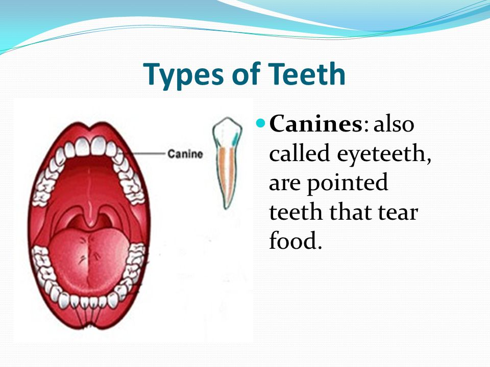 Types of Teeth Canines: also called eyeteeth, are pointed teeth that tear food.