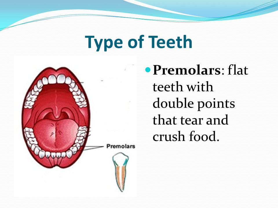 Type of Teeth Premolars: flat teeth with double points that tear and crush food.