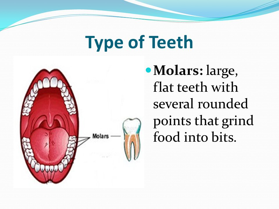 Type of Teeth Molars: large, flat teeth with several rounded points that grind food into bits.