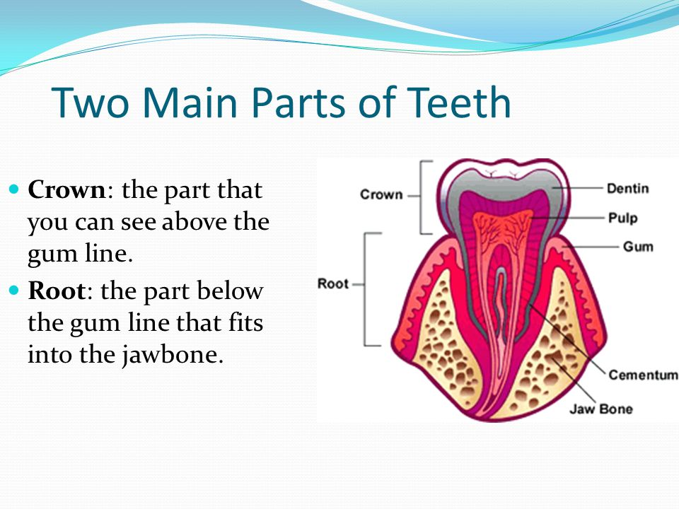 Two Main Parts of Teeth Crown: the part that you can see above the gum line.