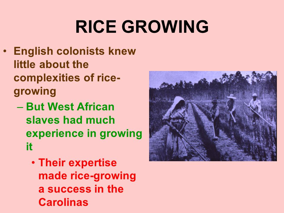 RICE GROWING English colonists knew little about the complexities of rice-growing. But West African slaves had much experience in growing it.