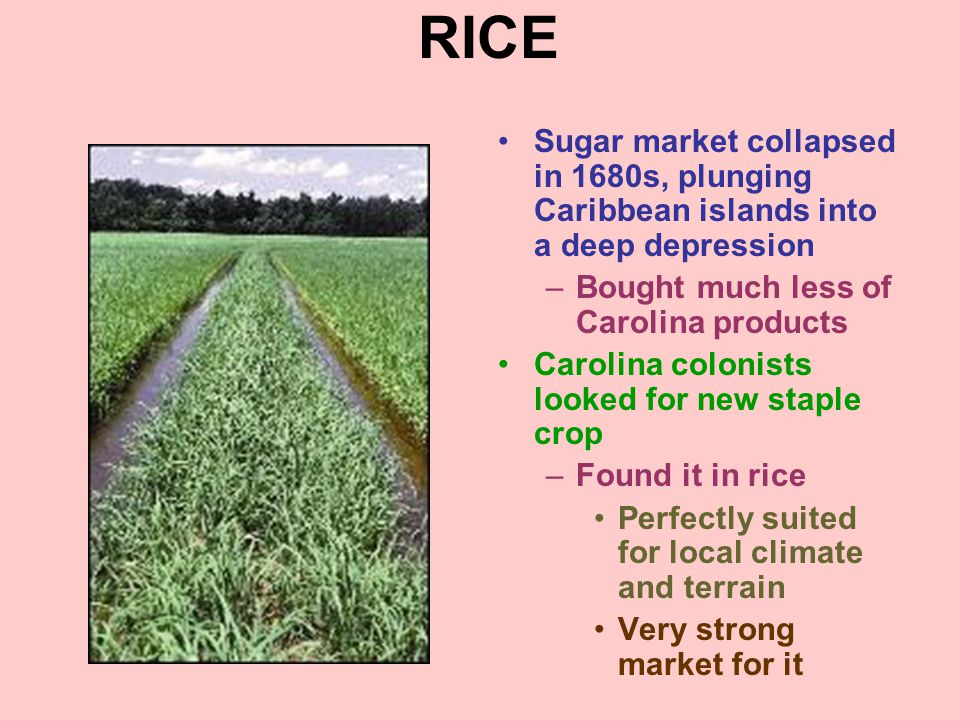 RICE Sugar market collapsed in 1680s, plunging Caribbean islands into a deep depression. Bought much less of Carolina products.