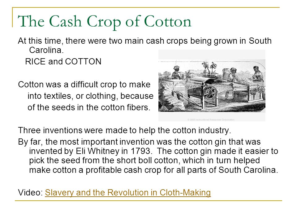 The Cash Crop of Cotton At this time, there were two main cash crops being grown in South Carolina.