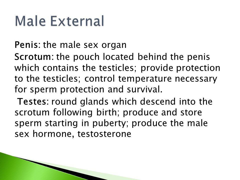 Male External Penis: the male sex organ