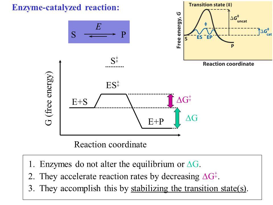 S P. Enzyme-catalyzed reaction: E. G (free energy) Reaction coordinate. E+P. ES‡ E+S. G‡ G.