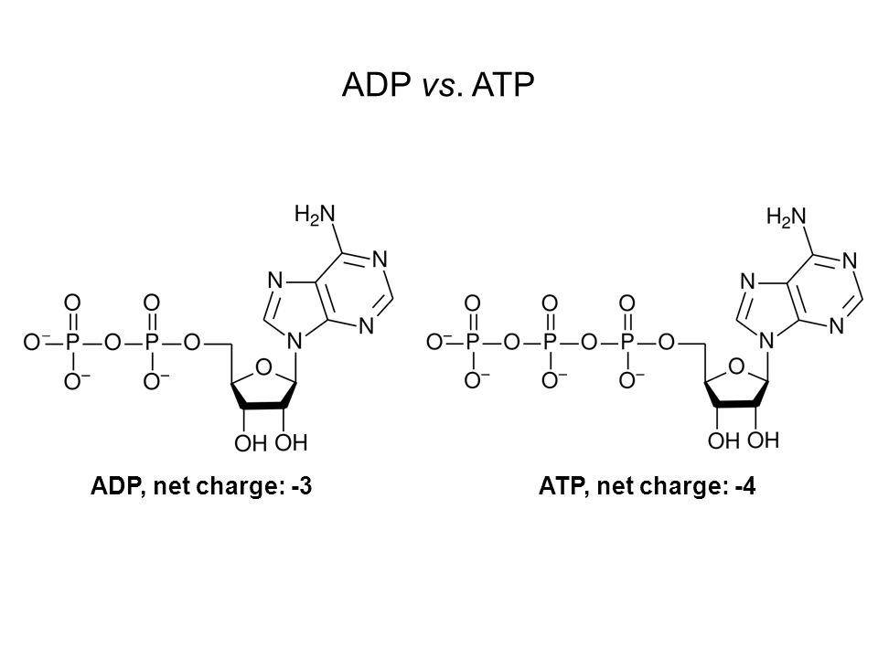 ADP vs. ATP ADP, net charge: -3 ATP, net charge: -4