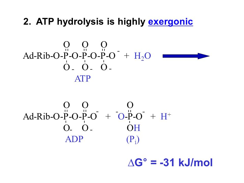 2. ATP hydrolysis is highly exergonic
