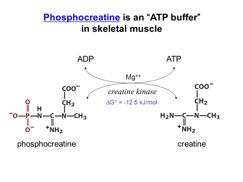 Phosphocreatine is an ATP buffer