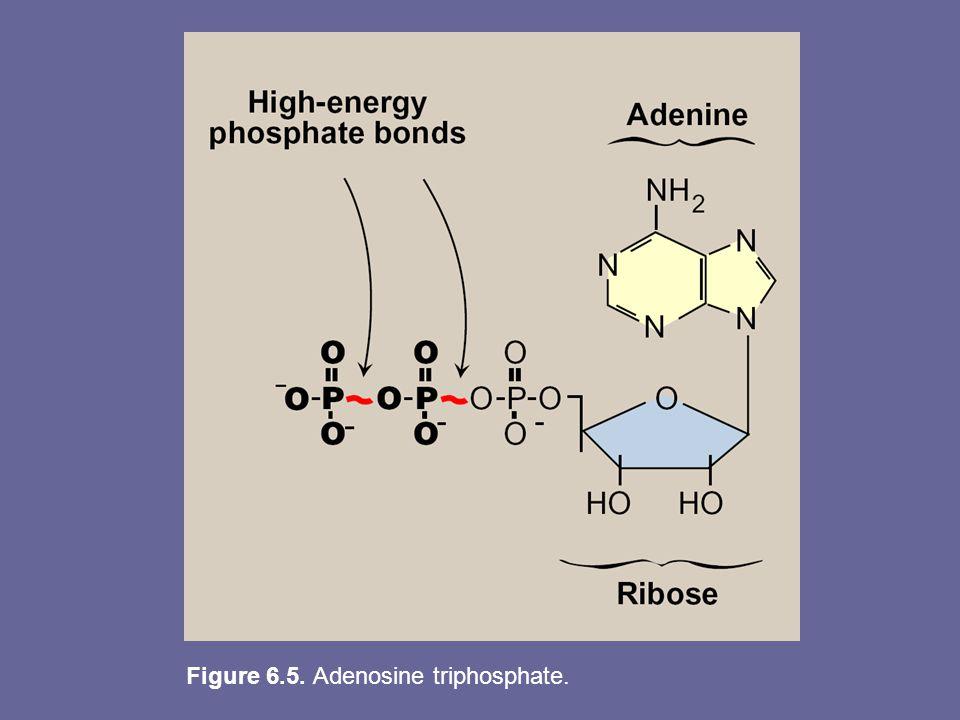 Figure 6.5. Adenosine triphosphate.
