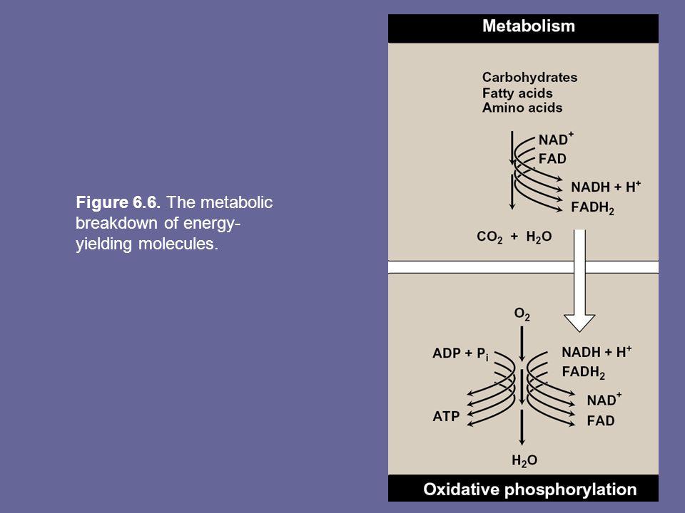 Figure 6.6. The metabolic breakdown of energy-yielding molecules.