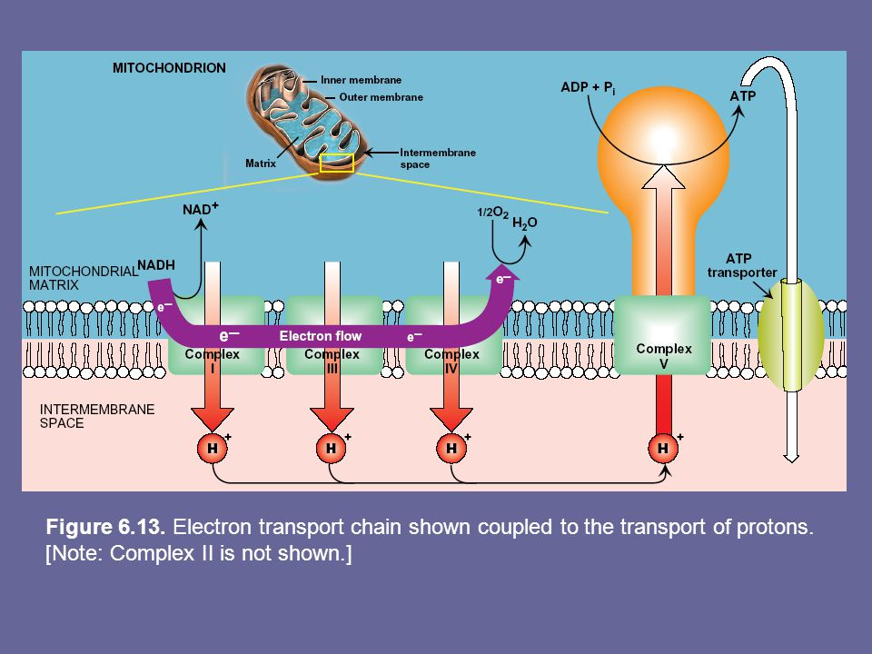 Figure 6.13. Electron transport chain shown coupled to the transport of protons.