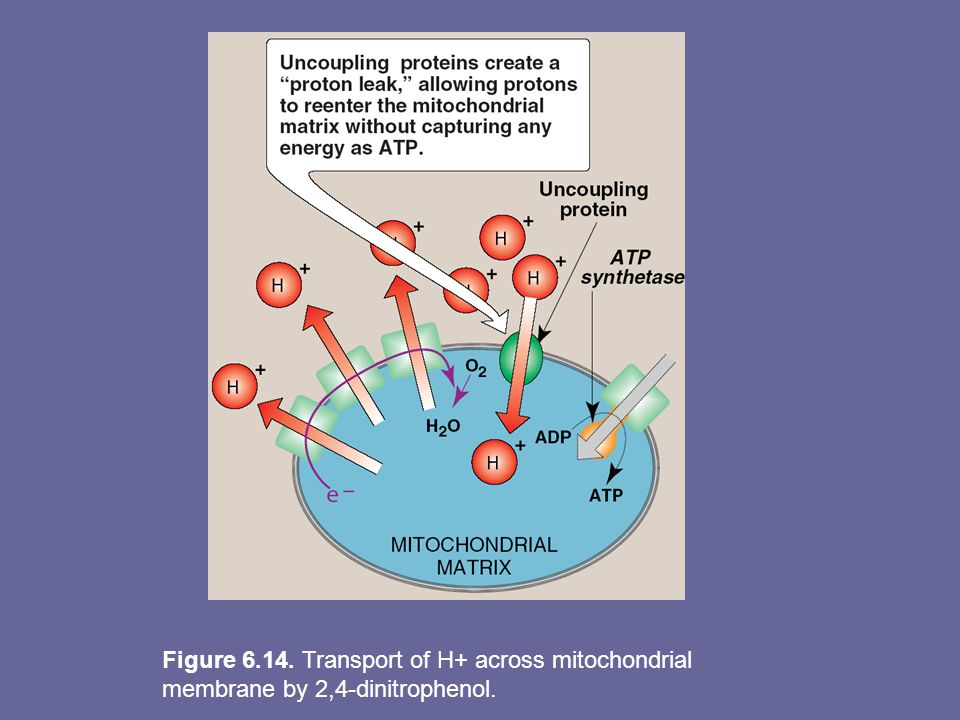 Figure 6.14. Transport of H+ across mitochondrial membrane by 2,4-dinitrophenol.