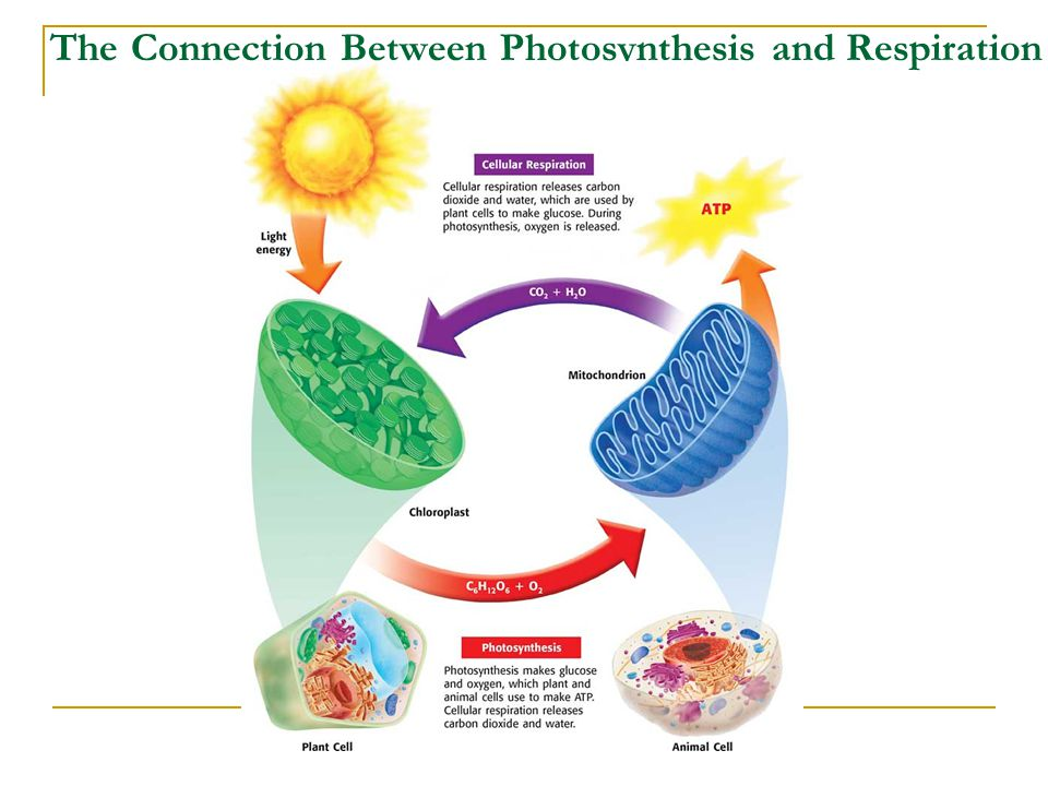 The Connection Between Photosynthesis and Respiration