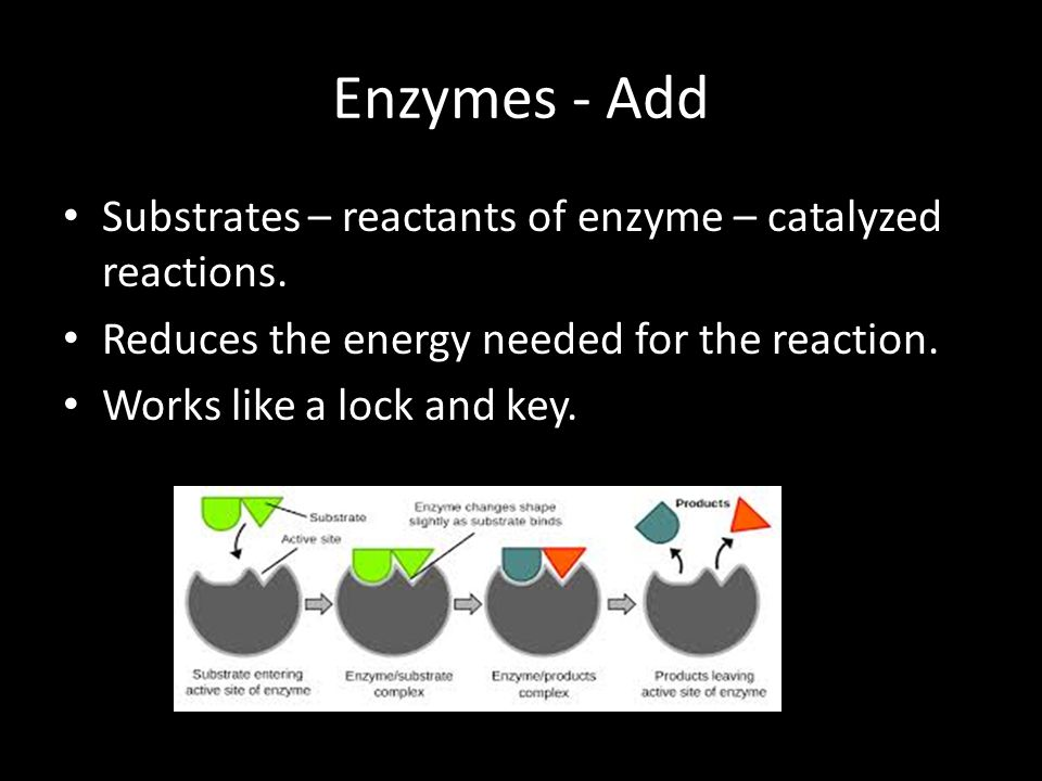 Enzymes - Add Substrates – reactants of enzyme – catalyzed reactions.