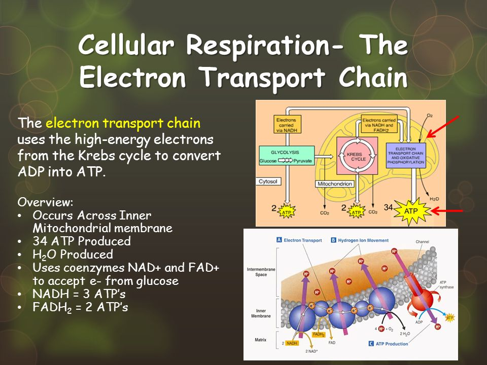 Cellular Respiration- The Electron Transport Chain