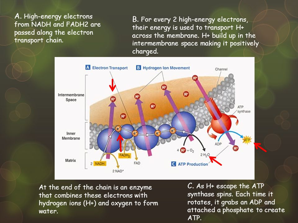 A. High-energy electrons from NADH and FADH2 are passed along the electron transport chain.