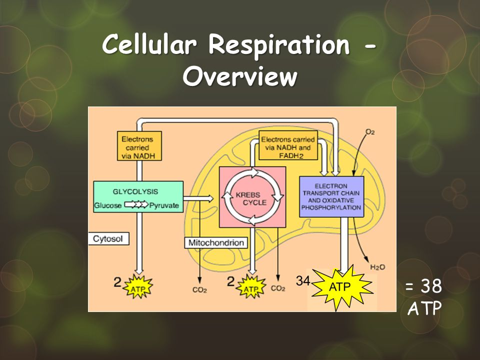 Cellular Respiration - Overview