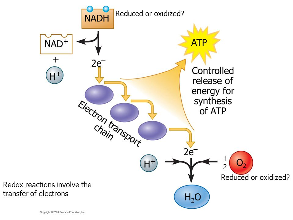 NADH ATP NAD+ + 2e– Controlled release of H+ energy for synthesis