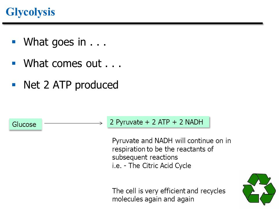 Glycolysis What goes in . . . What comes out . . . Net 2 ATP produced