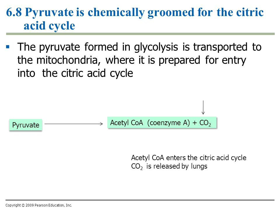 6.8 Pyruvate is chemically groomed for the citric acid cycle