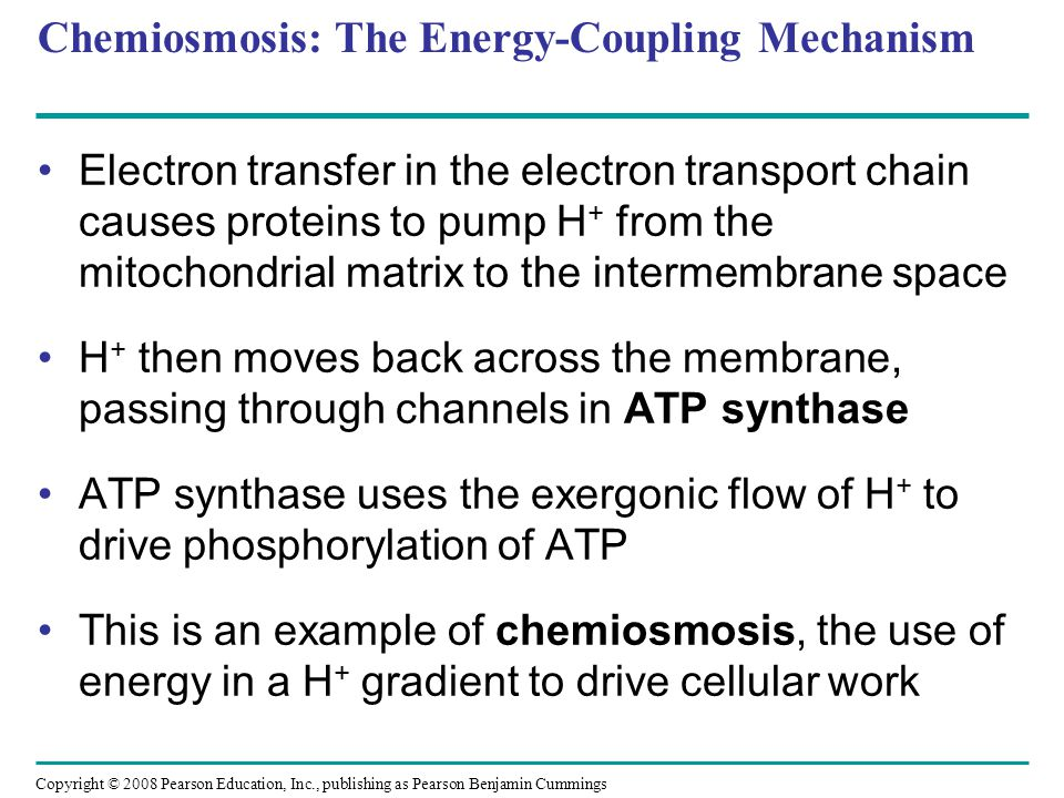 Chemiosmosis: The Energy-Coupling Mechanism