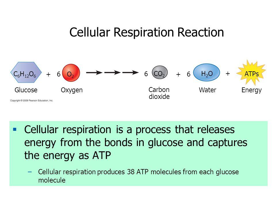 Cellular Respiration Reaction