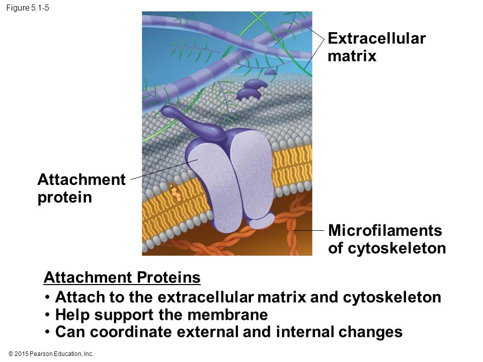 Microfilaments of cytoskeleton