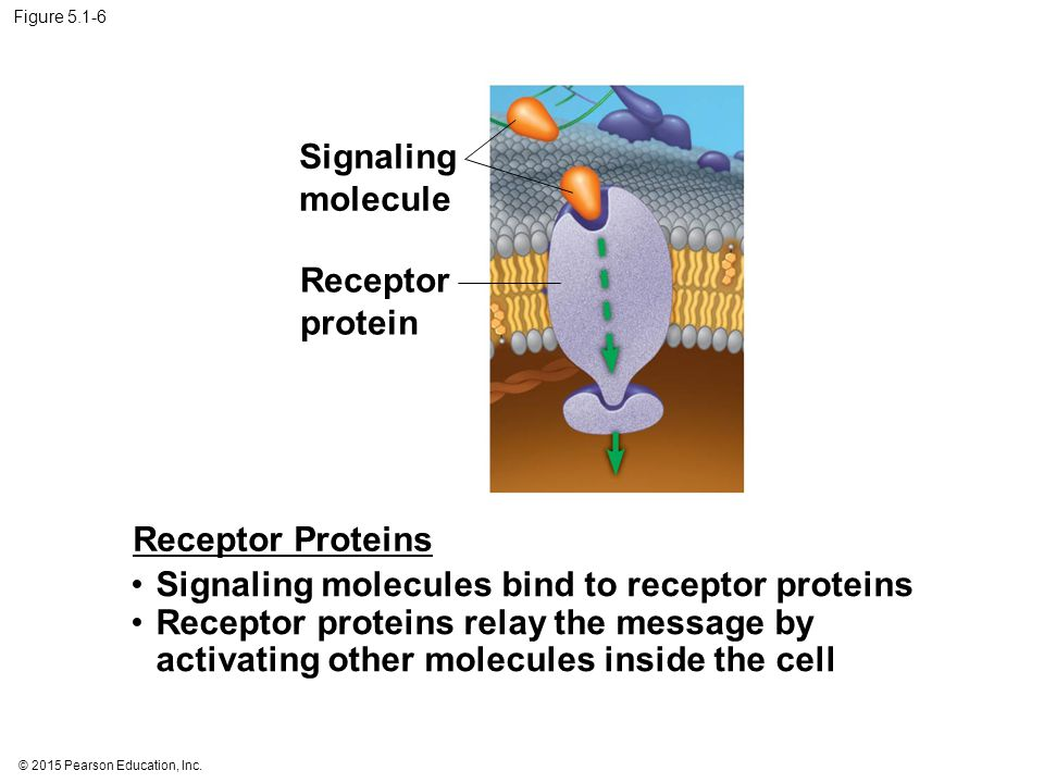 Signaling molecules bind to receptor proteins
