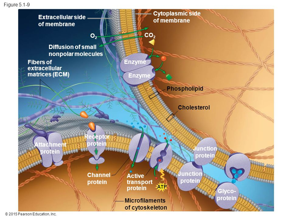 Cytoplasmic side of membrane Extracellular side of membrane