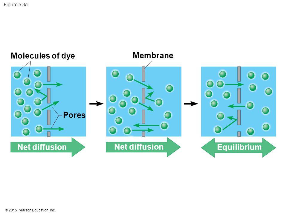 Molecules of dye Membrane Pores Net diffusion Net diffusion